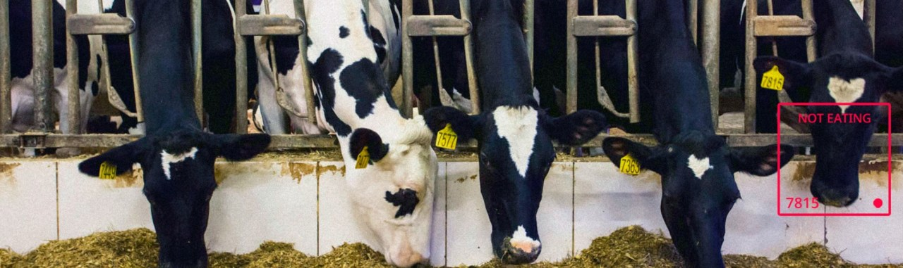 reconnaissance faciale vache