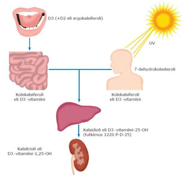 Kuva 1. D-vitamiinin aineenvaihdunta