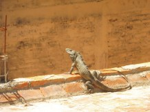 An iguana seen from our third-floor balcony.