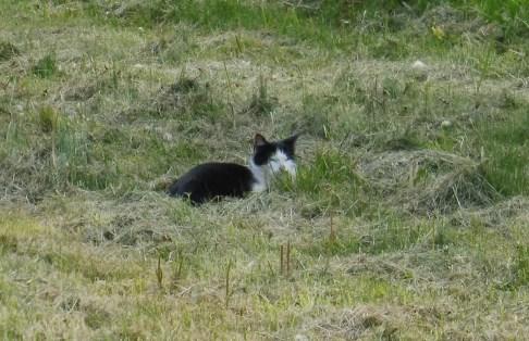black&whitecat_somogyszentpal_may2