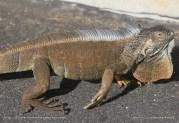 Grand Cayman - George Town - Iguane