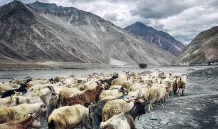 ganadería en el valle de nubra