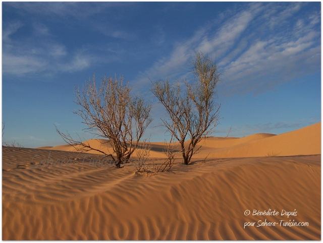 arbre sahara tunisie