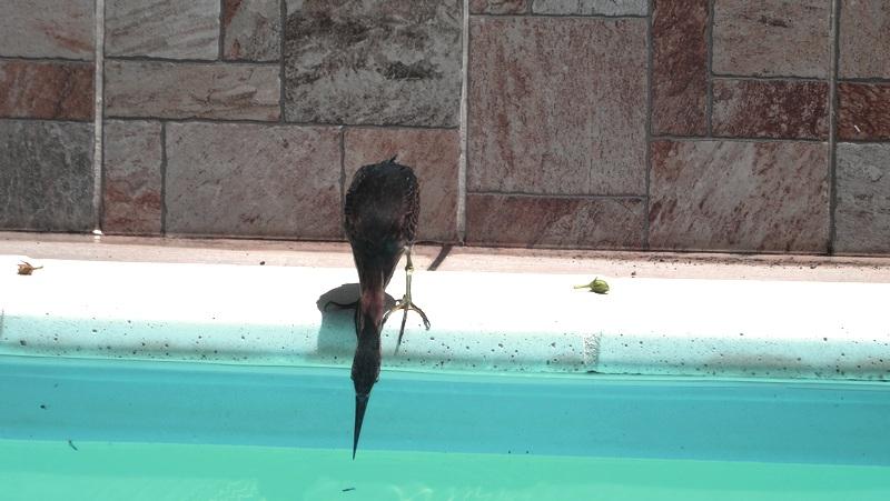 Guadeloupe héron vert dans la piscine