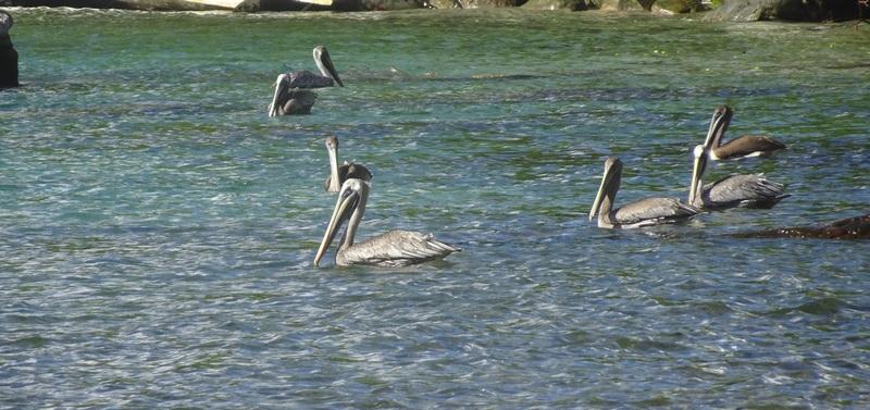 Pélicans sur l'île des Saintes