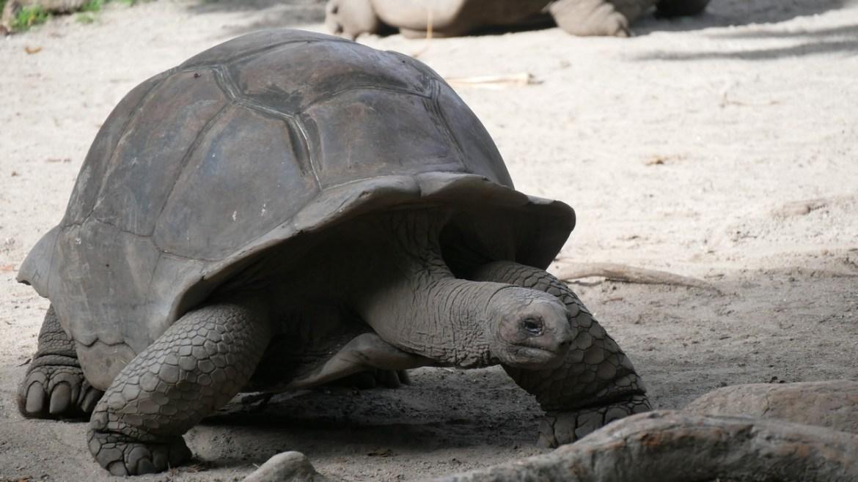 la tortue géante Aldabra la digue seychelles