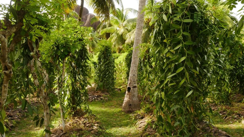 plantation de vanille ile de la digue seychelles escapades amoureuses