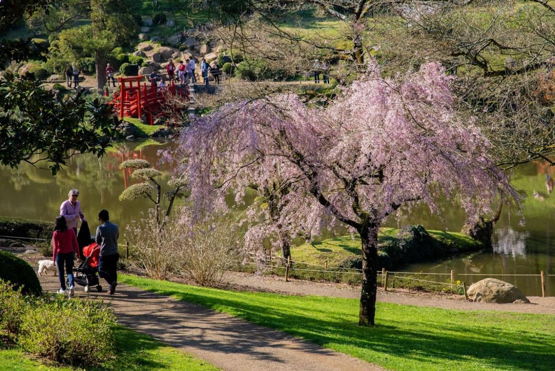 Fete des cerisiers Hanami parc oriental de maulevrier en Anjou près de Cholet