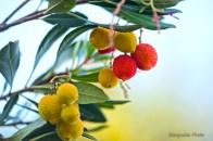 Fruits d'arbousiers en maturation - Castellina in Chianti