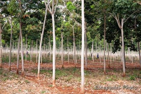 Chup - plantation d'hévéa