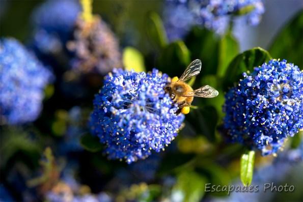 Céanothe : L'ivresse du nectar