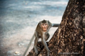 Kep macaque dominant agressif