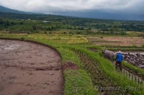buffle dans la rizière de Jatiluwih