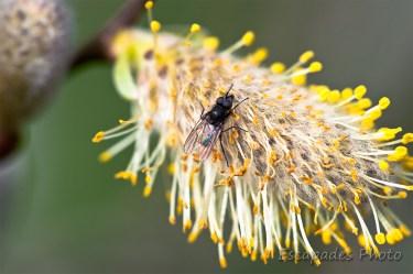 Mouche sur fleur de saule