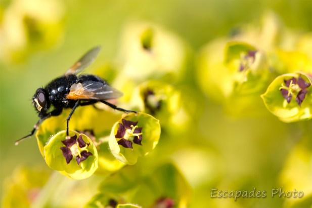 Euphorbe martinii - floraison