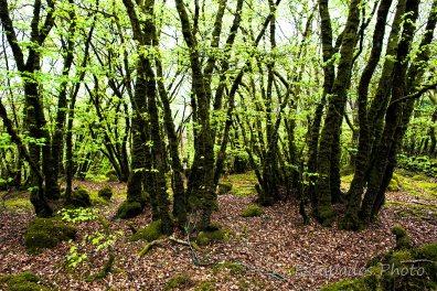 Querrien Kerivarc'h , feuilles dans la hêtraie
