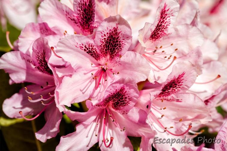 rhododendron fleur au jardin