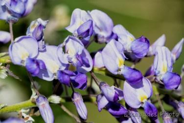 jardin de printemps : Glycine en fleur