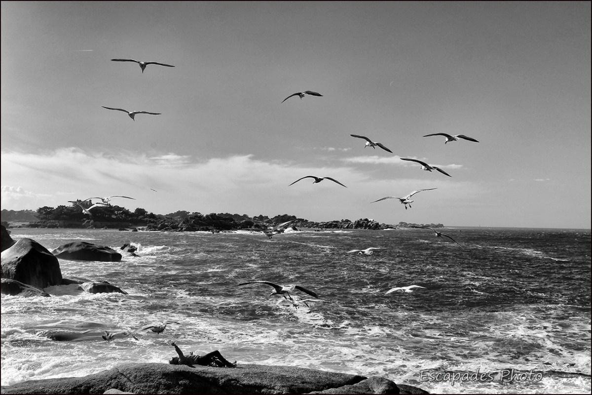 Ploumanac'h - Un homme et des goélands dans le décor marin