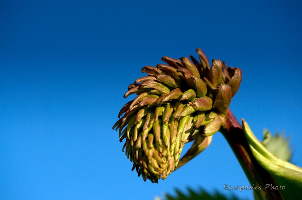 Melianthus major - bouton floral