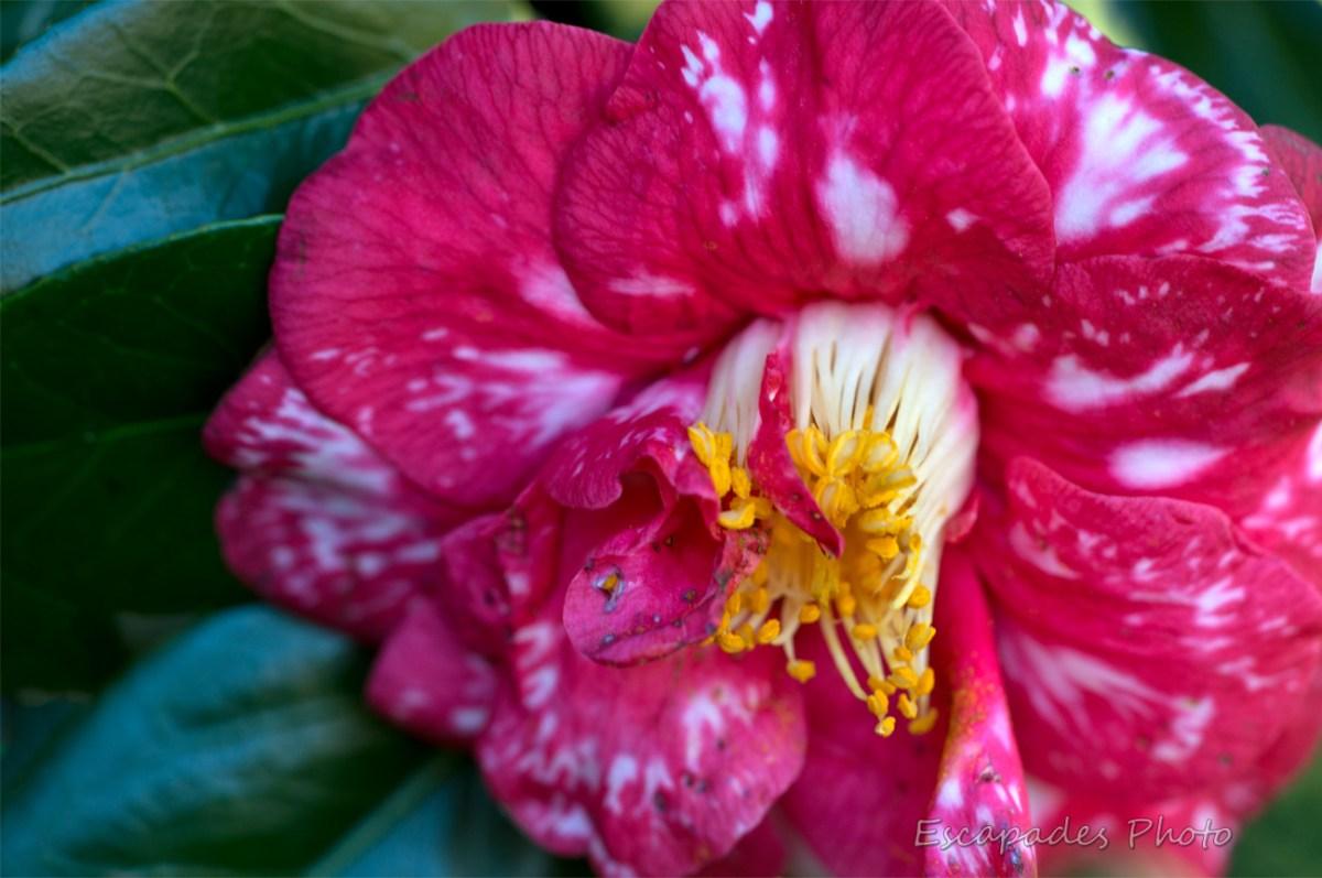 fleur de camélia - cœur de fleur avec les pistils