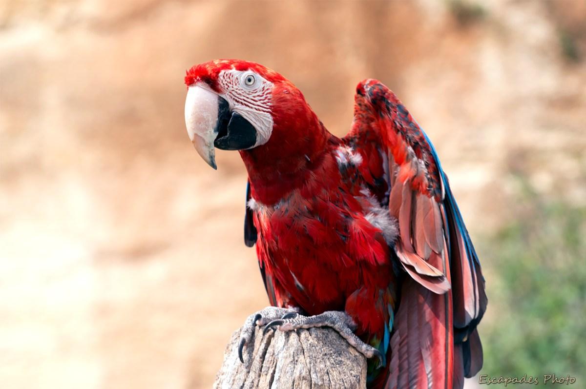 Ara à ailes vertes - Bioparc - zoo de Doué la Fontaine