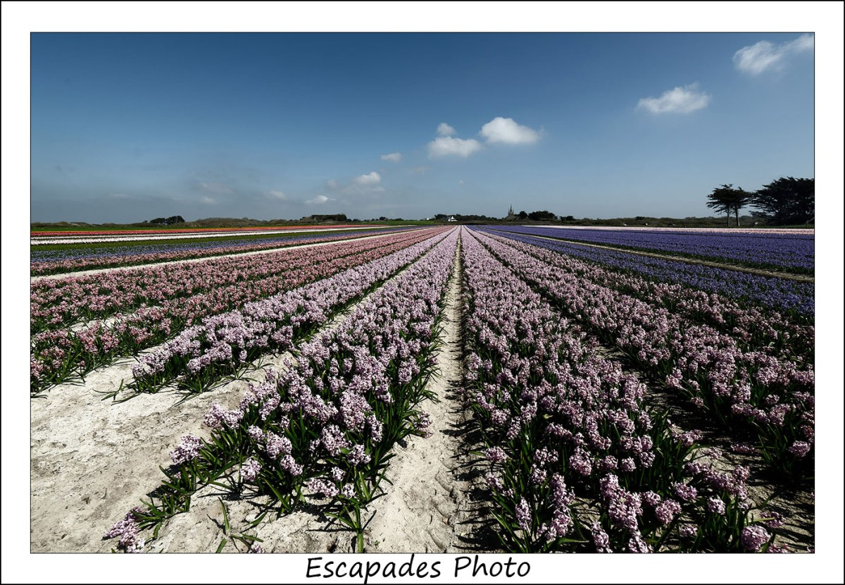 Champs de jacinthes en fleur à Tronoën