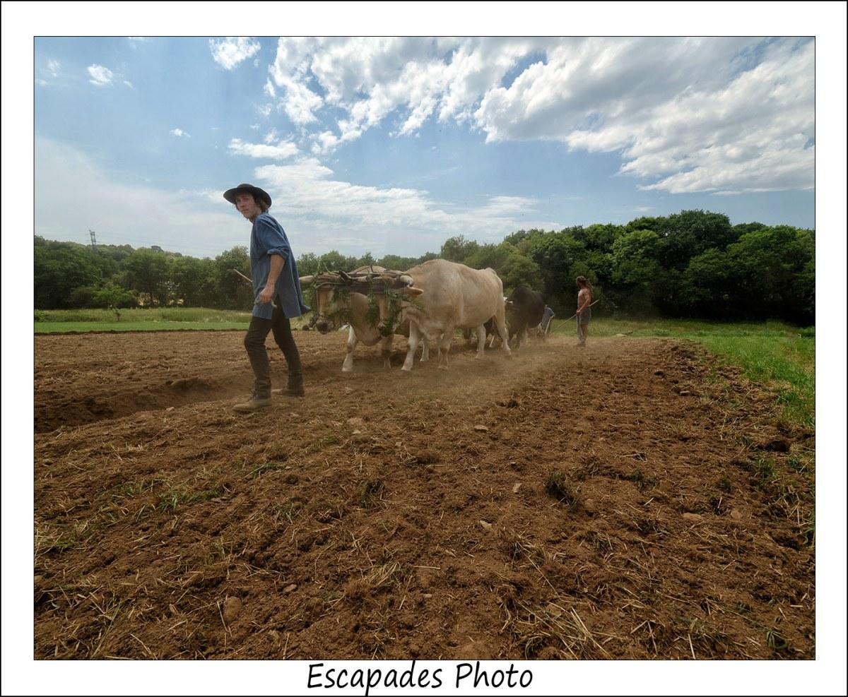 Labour à l'ancienne : La conduite des bœufs de Jean Bernard Huon