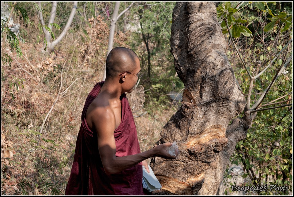 Sagaing : Moine bouddhiste - scarification d'un arbre sacré