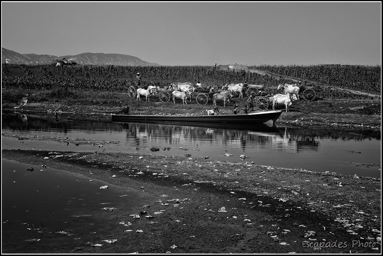 Bœufs charroyeurs en Birmanie