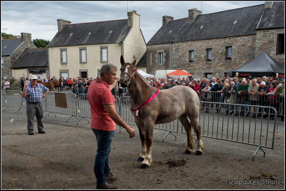 Foire aux chevaux breton - pouliche de 18 mois à Bulat-Pestivien