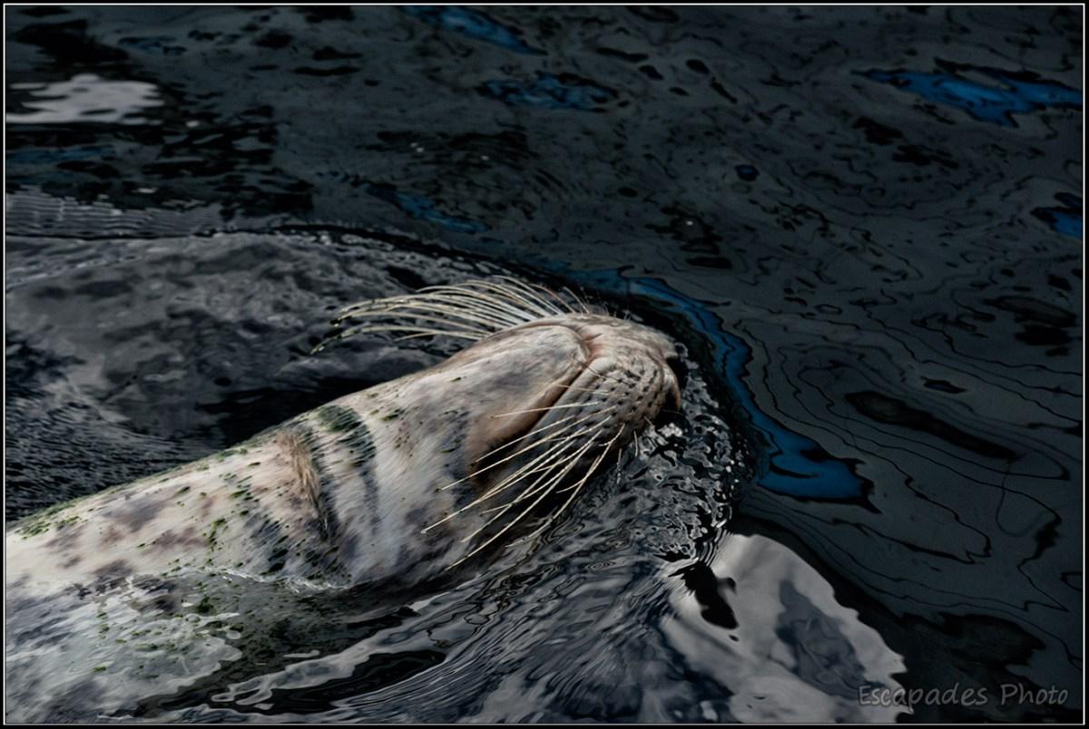 Phoque gris Océanopolis