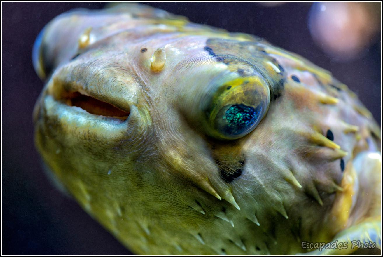 Diodon holocanthus – poisson porc-épic – Océanopolis