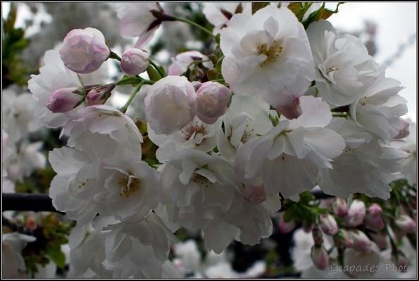 Read more about the article Cerisier fleur du Japon – Jardin des Plantes