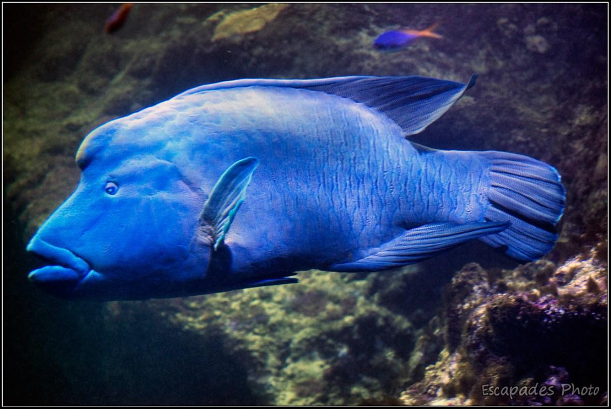 Poisson napoléon - aquarium Océanopolis
