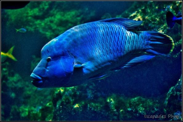 Napoléon, un poisson magnifique mais menacé