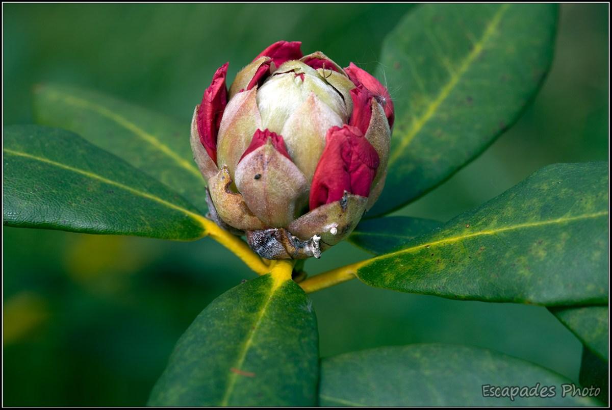Rhododendron - couronne de fleurs