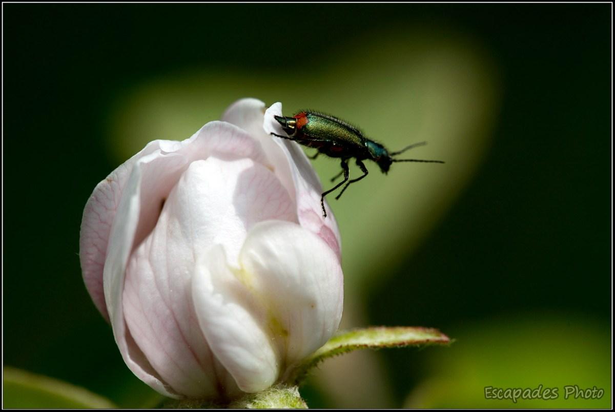 Malachie à deux points Malachius bipustulatus sur fleur de pommier