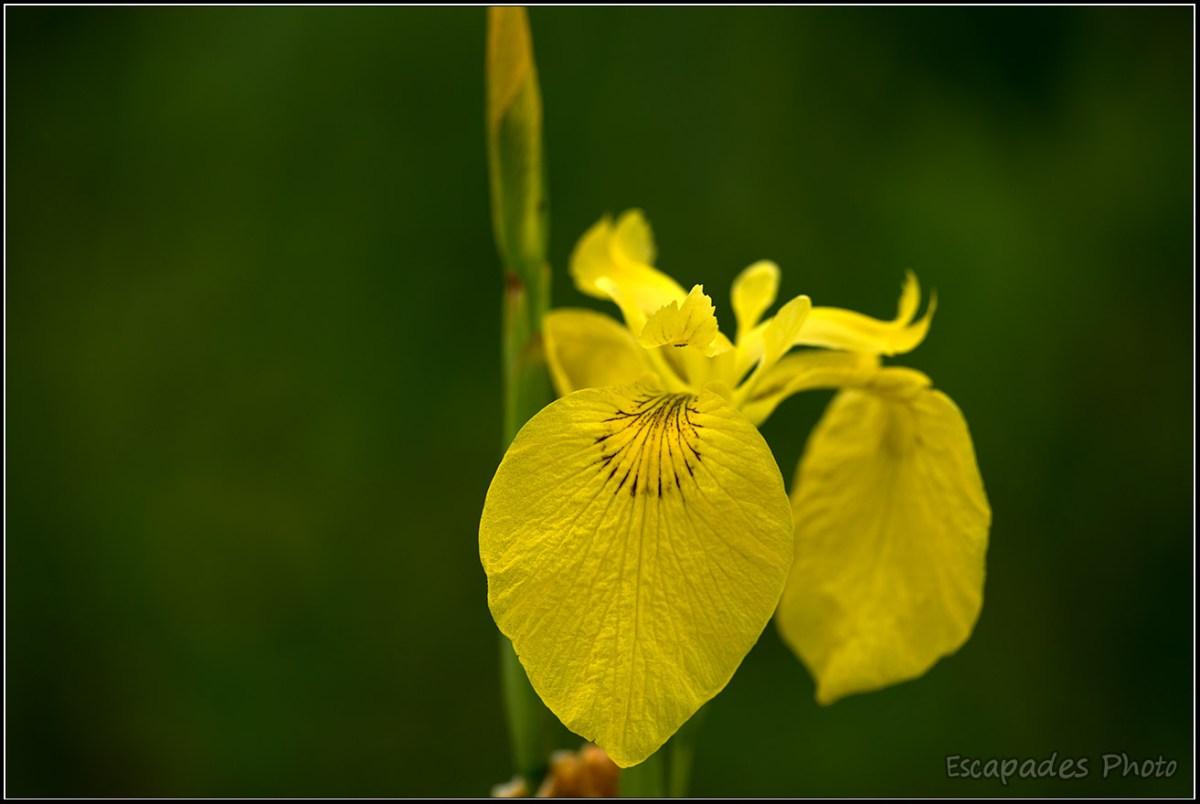 iris des marais Rospico
