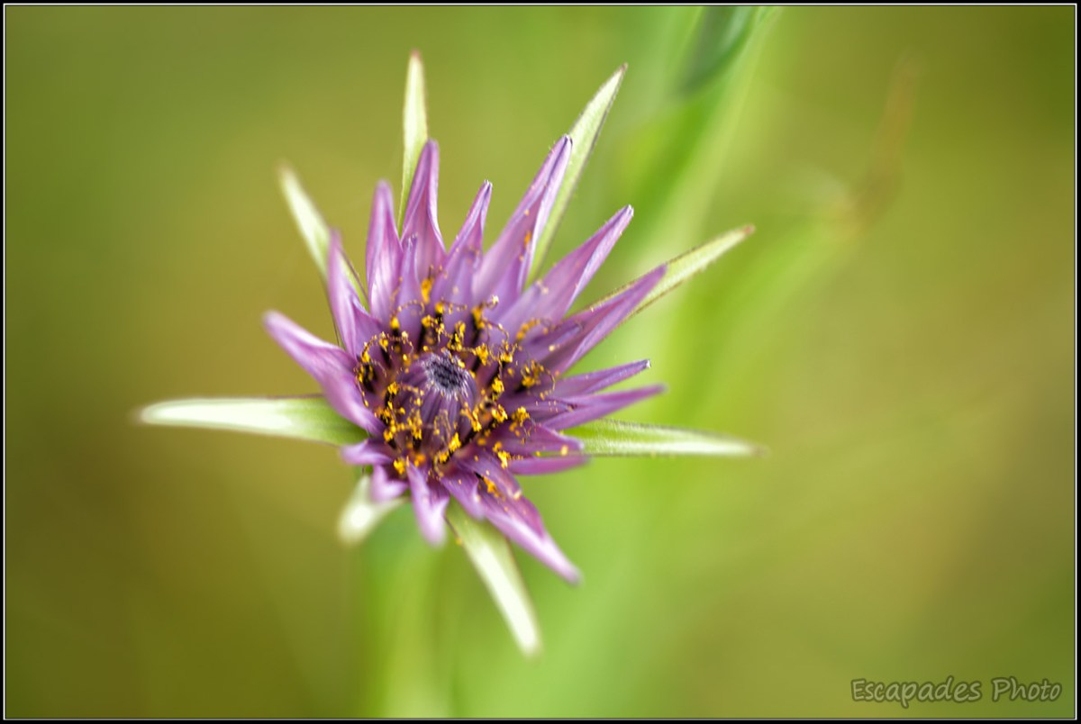 Fleur bleue littoral à identifier