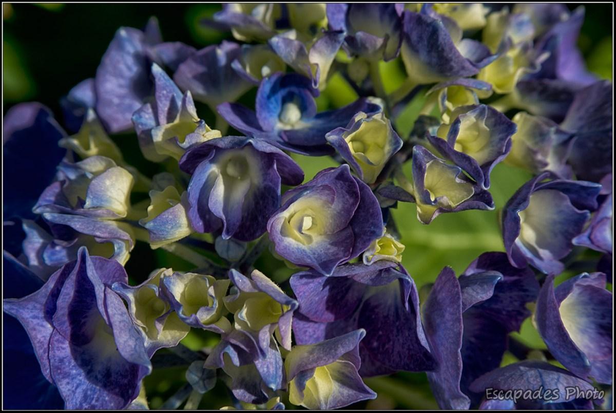 Hortensia bleu - détail de la fleur