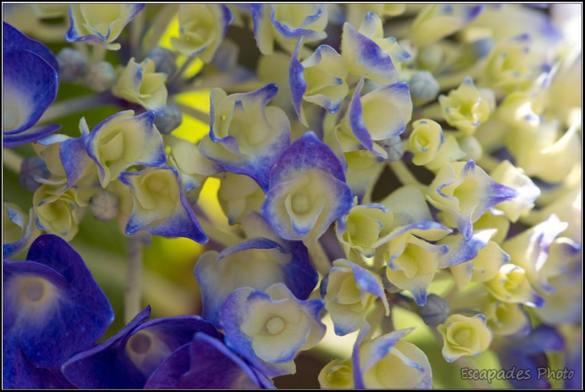hortensia fleur emblématique en Bretagne