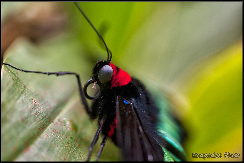 Troides brookiana – Butterfly Park Kuala Lumpur