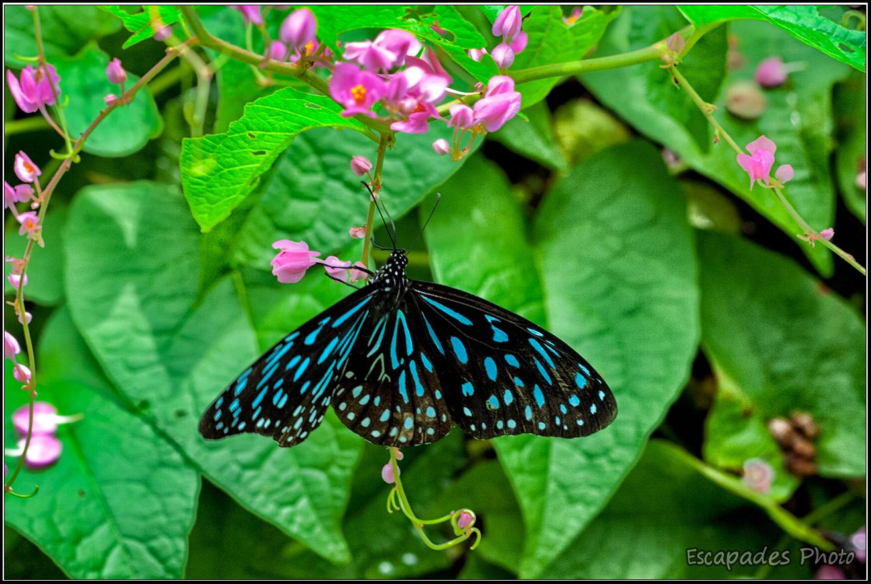 Tirumala septentrionis - Kuala Lumpur Butterfly Park