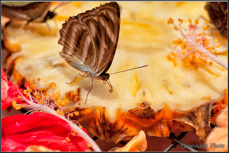 Butterfly Park - Kuala Lumpur - papillon sur fleur d'hibiscus
