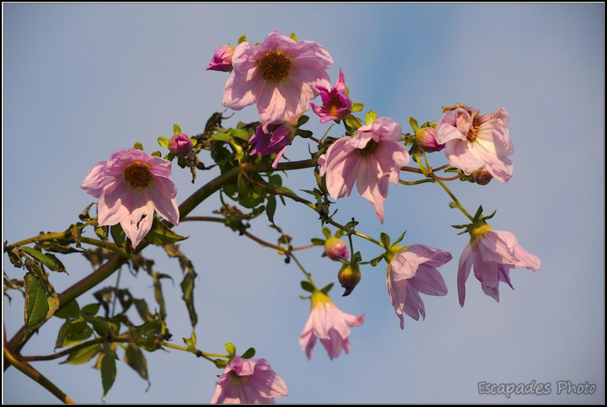 Dahlia Imperialis ou dahlia arborescent au port imperial