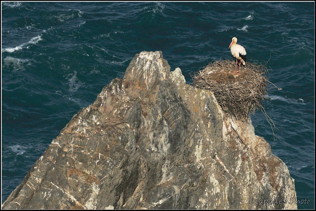 Cigogne blanche - Cabo Sardão