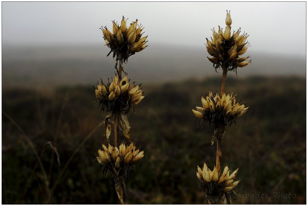 Gentianes aux hampes florales sèchent marquent la fin de l'été