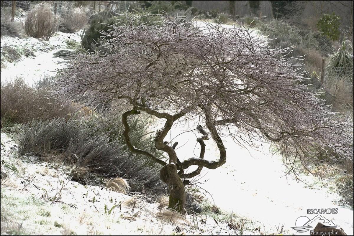 Acer dans la neige