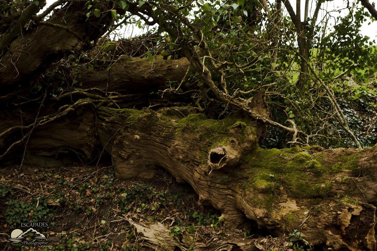 Lanvénégen, la balade de la Trinité : Sentier des moulins - Vieux chênes morts